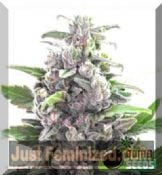 Bomb Seeds Auto THC Bomb Buy Cheap at Just Feminized UK